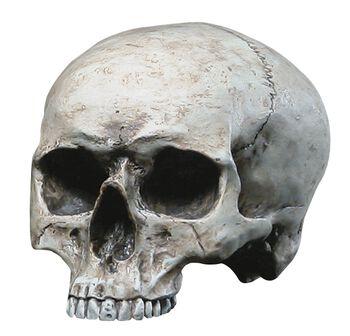 Människokranium